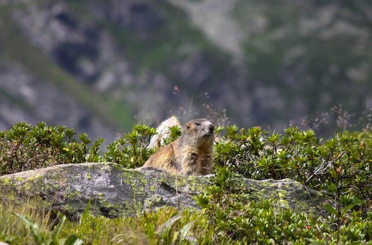 Marmotta all'Emet